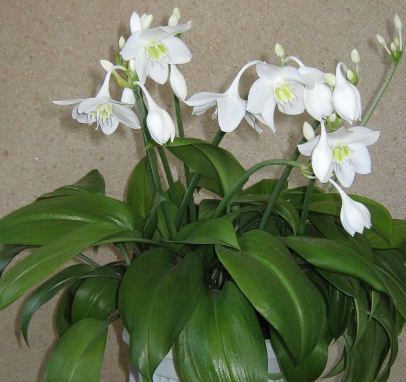 Цветок комнатная лилия: уход в домашних условиях фото