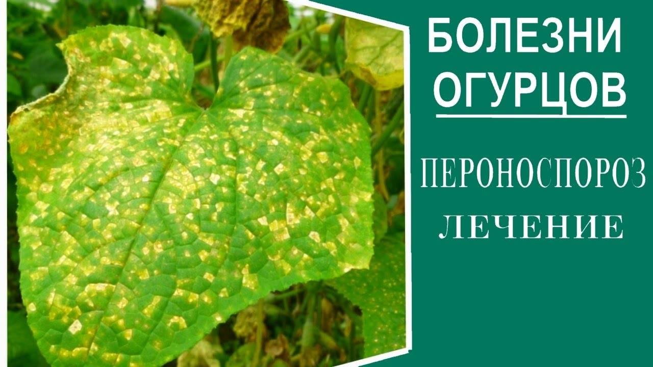 Пероноспороз описание и фото на supersadovnik.ru