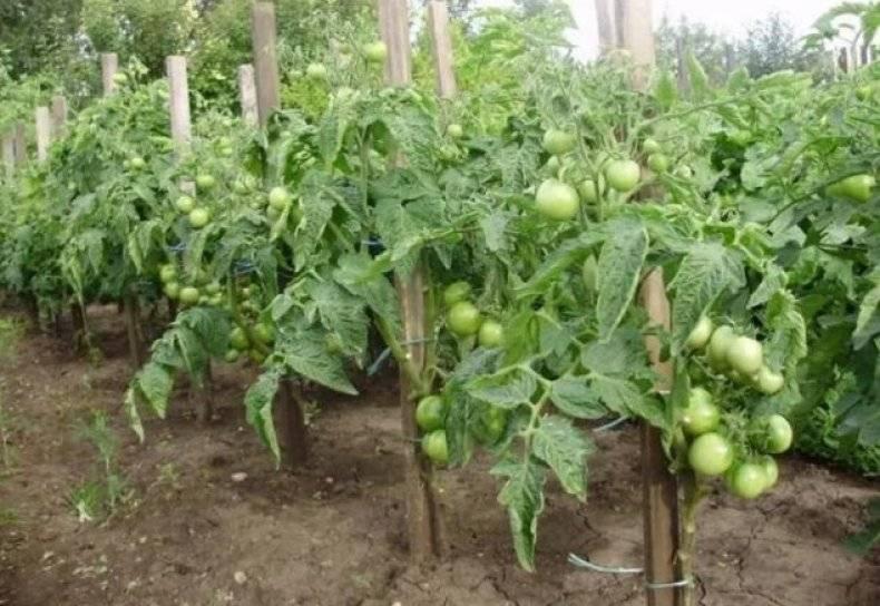 Томат маруся: характеристика, описание сорта, урожайность и отзывы