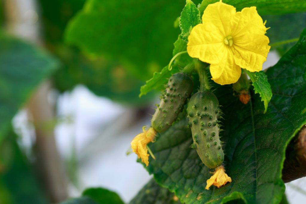 Чем подкормить огурцы в теплице и открытом грунте: удобрения  для роста и плодоношения