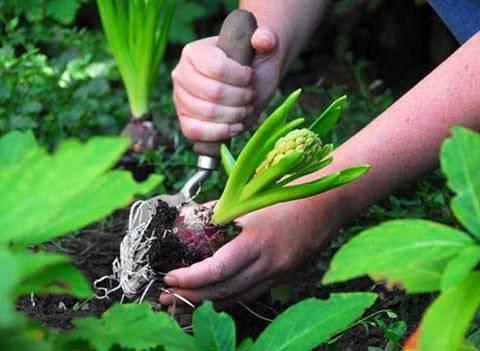 Гиацинт — цветок дождя. посадка, уход, размножение, выращивание, хранение. болезни, вредители. фото — ботаничка.ru