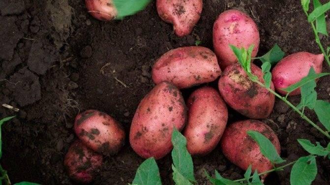 Сорт картофеля «триумф» – описание и фото