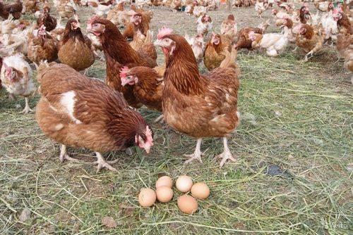 Несут ли бройлеры яйца - разбираемся в особенностях генетики и физиологии