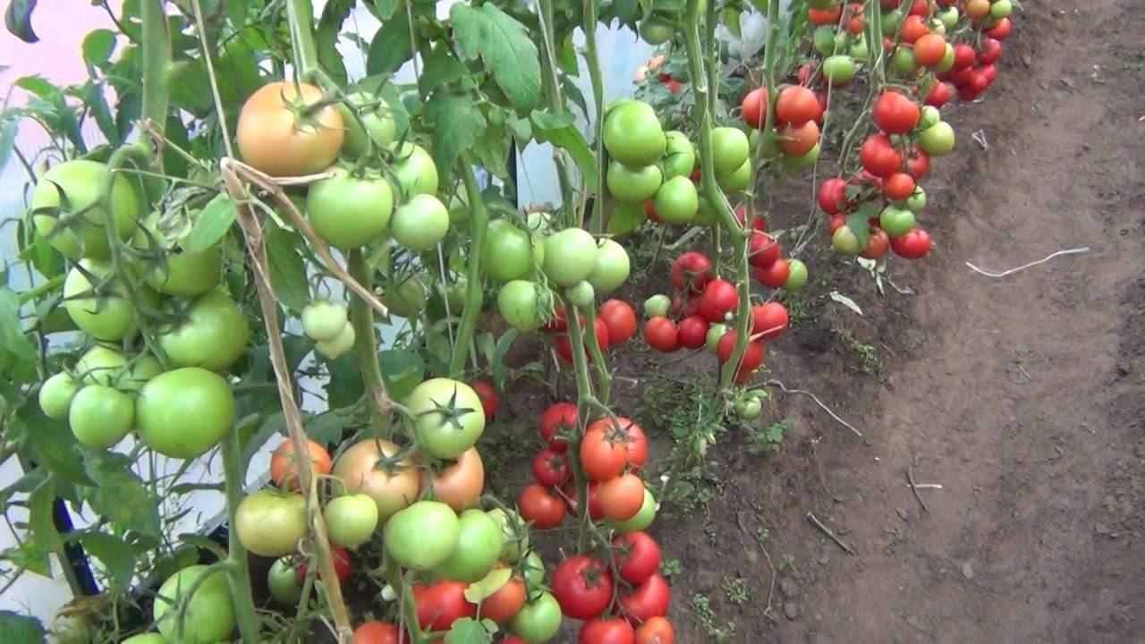 Сладкие, крупные и очень ароматные томаты «пандароза» — украшение грядки