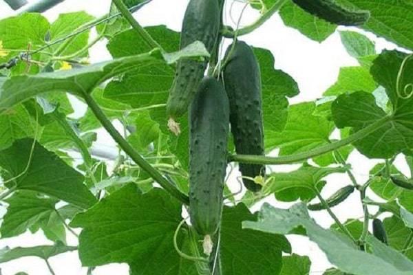 Сорт огурца изящный: выращивание, посадка и уход, фото