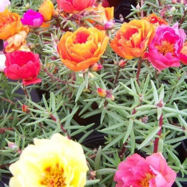 """Цветы """"портулак"""": выращивание из семян, посадка и уход, фото"""