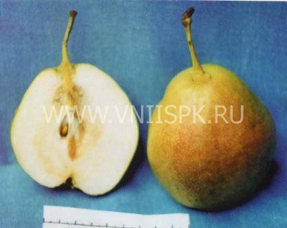 Сорт груши аленушка (дюймовочка): компактная для российской земли