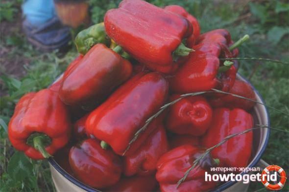 Описание сорта перца «красный бык» с фото и отзывами