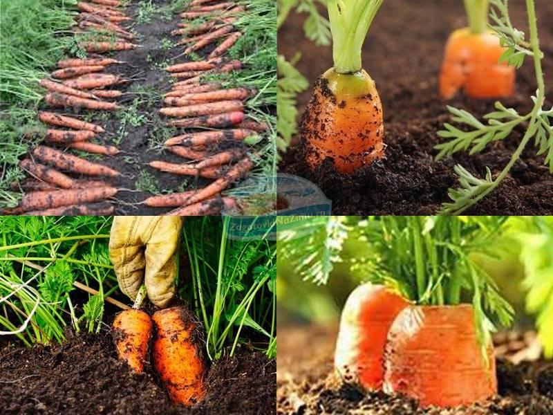 Нужно ли замачивать семена моркови перед посадкой или можно этого не делать, когда надо обязательно проводить процедуру, что лучше для урожайности? русский фермер