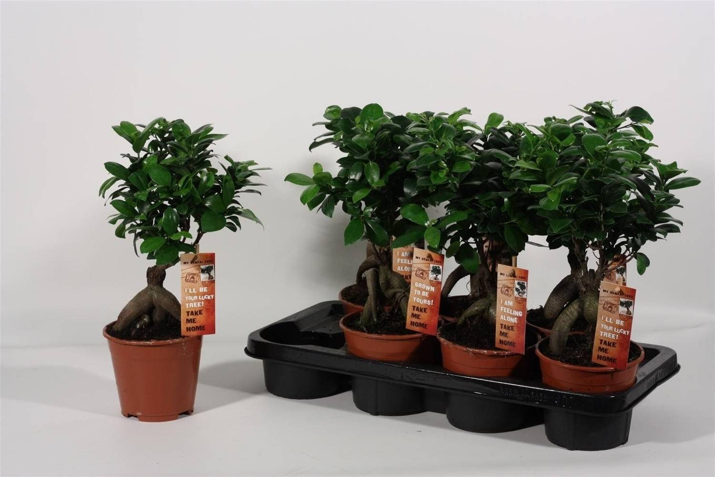 Фикусы «мелани» (27 фото): особенности ухода в домашних условиях, размножение сорта каучуконосного фикуса