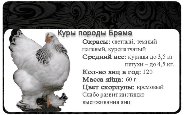 Брама светлая (колумбийская): описание породы кур и их фото, особенности выращивания цыплят, характеристики и нюансы содержания птицы selo.guru — интернет портал о сельском хозяйстве