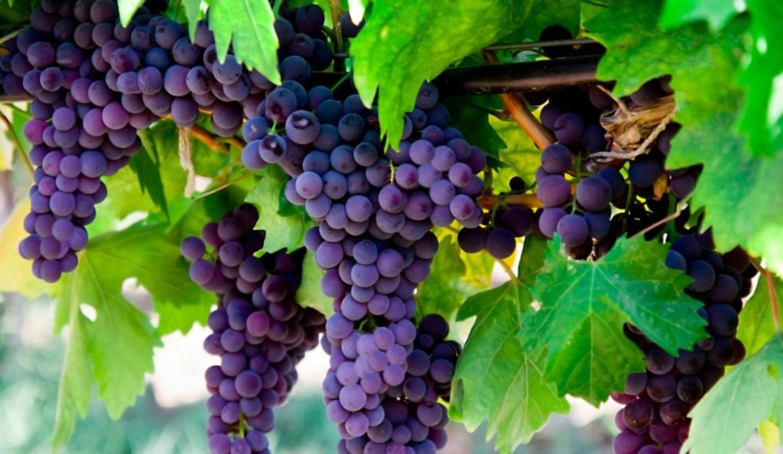 Описание и характеристики винограда сорта краса никополя, посадка и уход