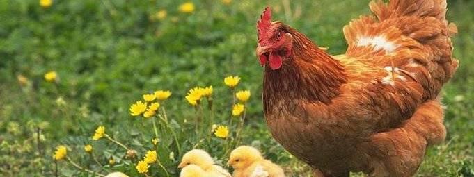 Почему куры клюют друг у друга и выщипывают перья: причины, фото и видео