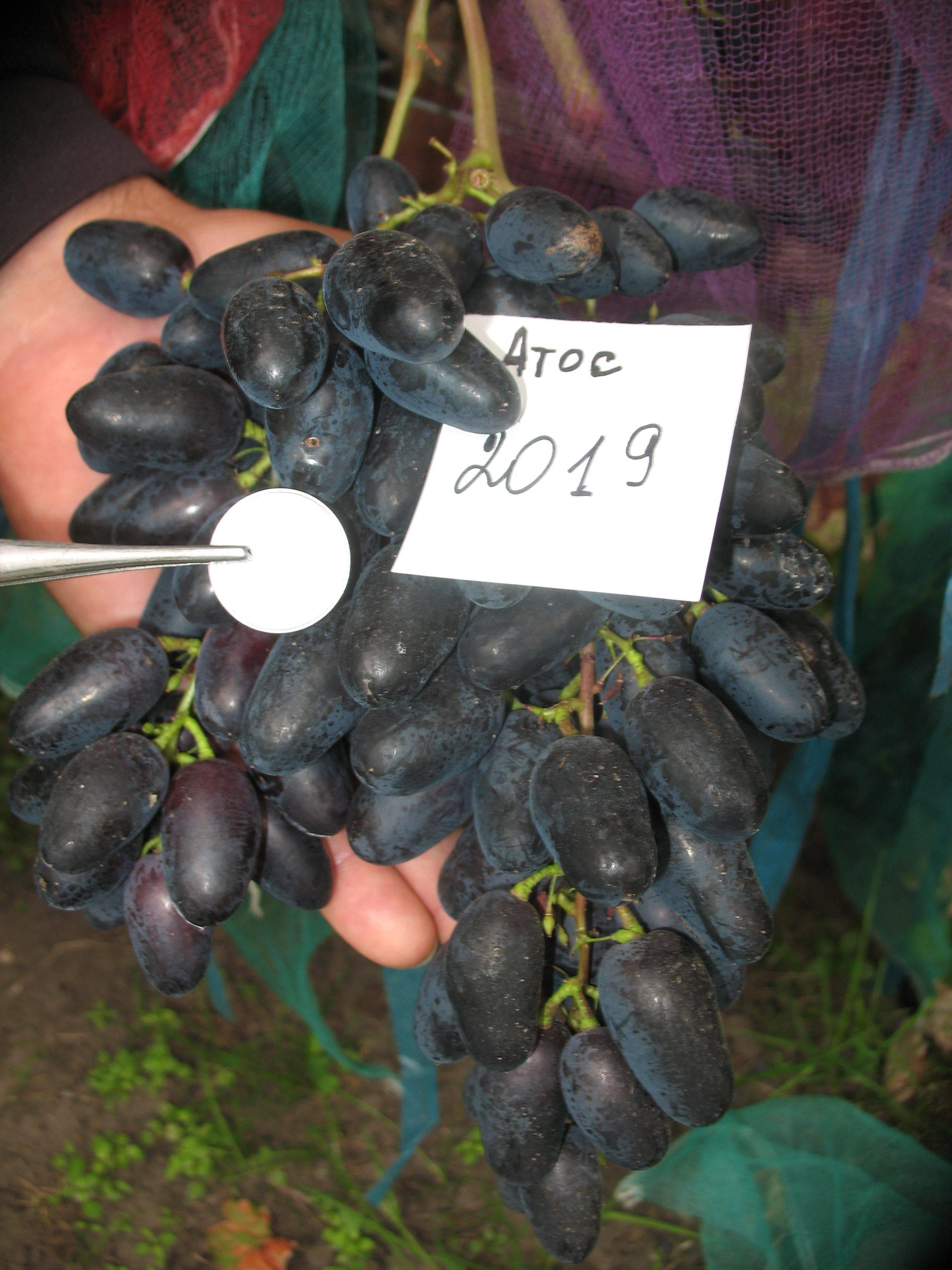 Портос* — виноград