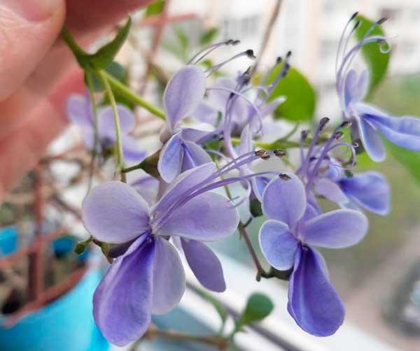 Клеродендрум угандийский (21 фото): описание, уход за цветком в домашних условиях. размножение клеродендрума черенками и другими способами