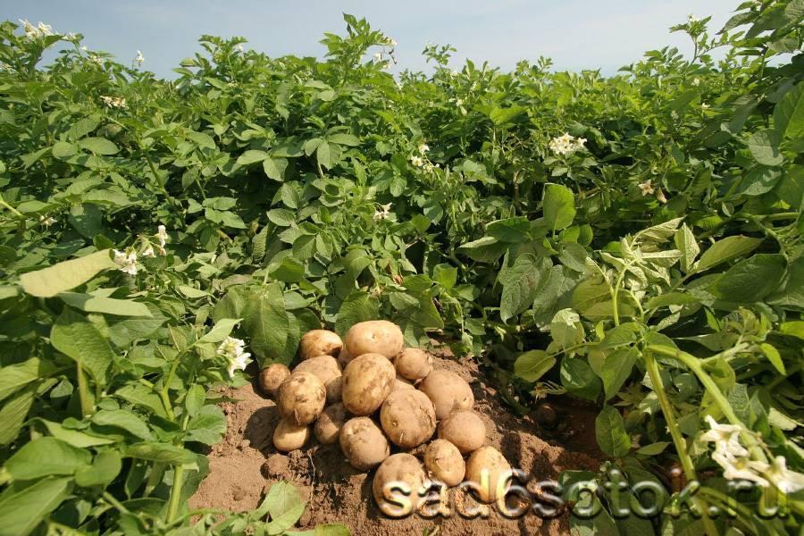 Лучшие сорта картофеля для подмосковья и средней полосы россии: вкусные, урожайные, ранние, средние, поздние с описанием, характеристикой и фото