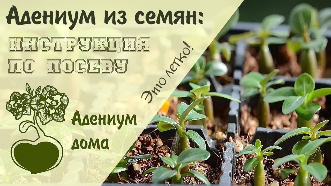 Выращивание неприхотливого адениума из семян в домашних условиях и рекомендации по размножению