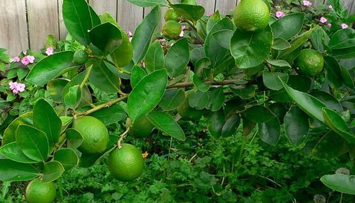 Лайм: полезные свойства фрукта   food and health