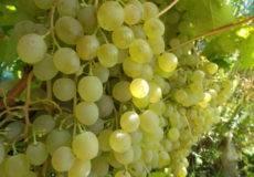 «краса никополя» неприхотливый сорт винограда
