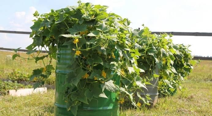 Огурцы в бочке: выращивание пошагово, сорта, определение правильного места