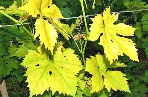 Виноград: болезни листьев, подробное описание, лечение, фото