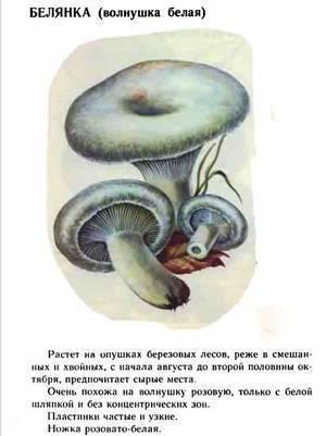Волнушка розовая (описание): съедобный гриб 2 категории