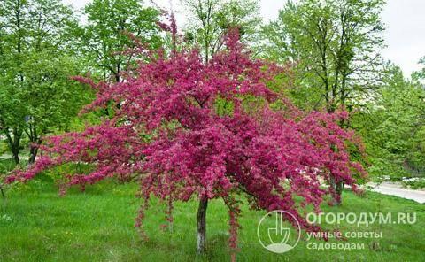 Декоративная яблоня: с красными листьями и не только