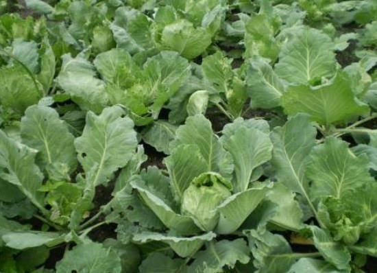 Из-за чего у капусты могут скручиваться листья? | фермер что делать, если у капусты скручиваются листья? | фермер