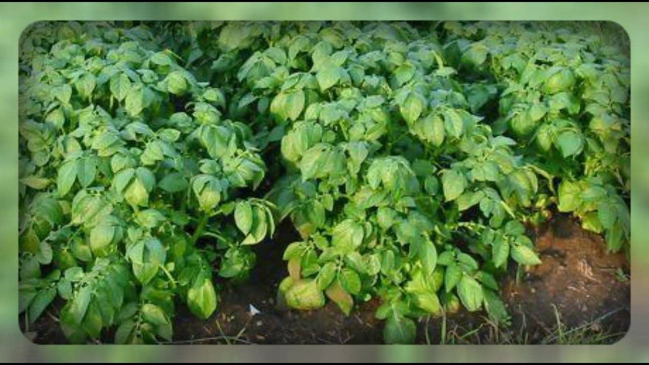 Почему у картошки почернели, засохли листья: возможные причины, методы борьбы