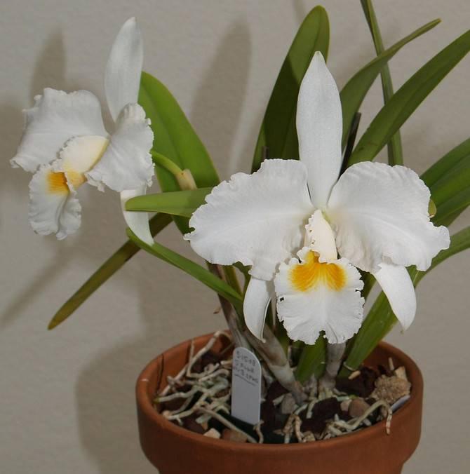 Орхидея каттлея: описание, виды и секреты выращивания