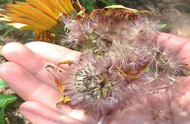 Выращивание герберы из семян в домашних условиях