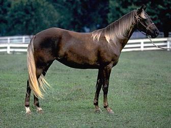 Лошадь скалистых гор - вики