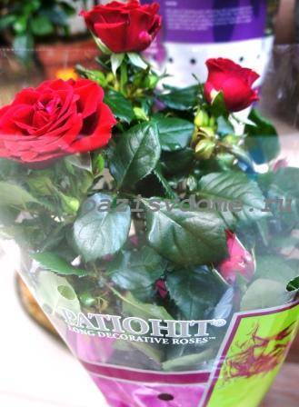 Филлостиктоз листьев роз: лечение и профилактика