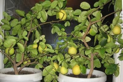 Описание новозеландского вида лимона, выращивание и уход в домашних условиях