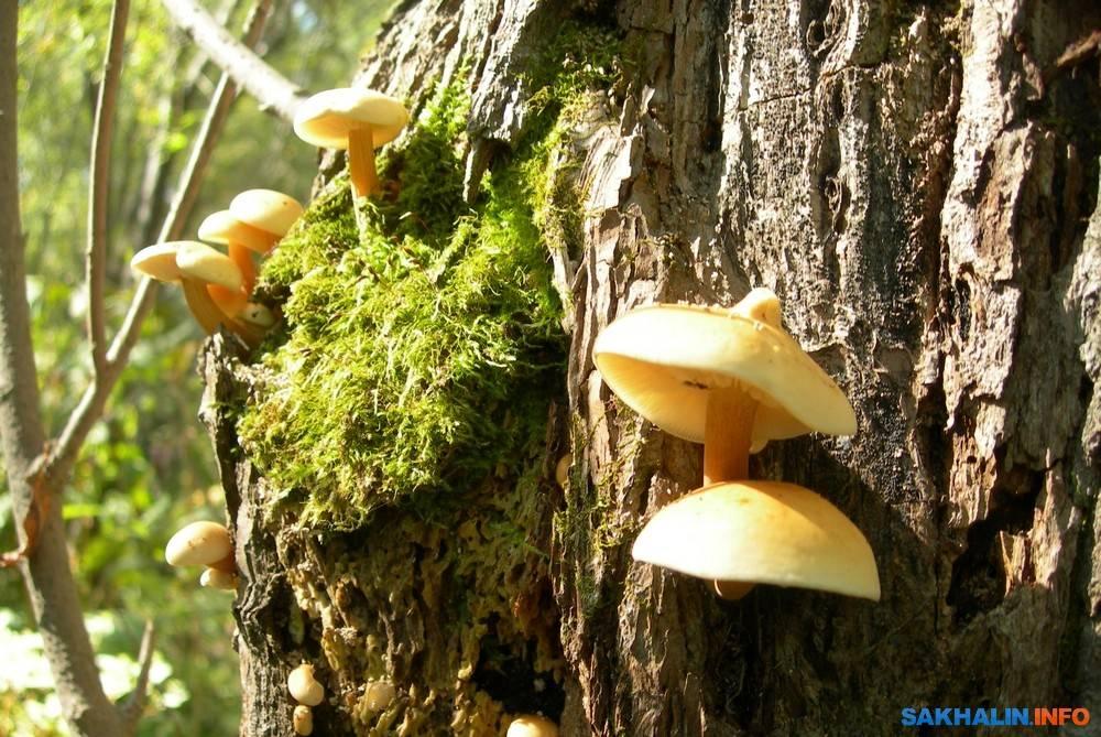 Съедобные грибы с описанием и фото.