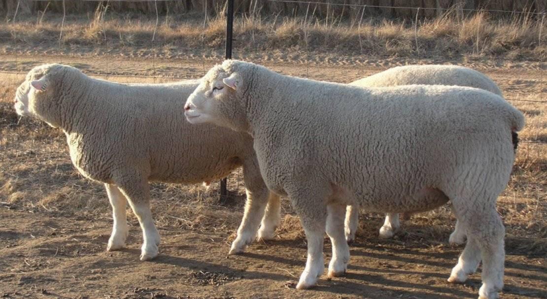 Овца и баран: в чём отличие?