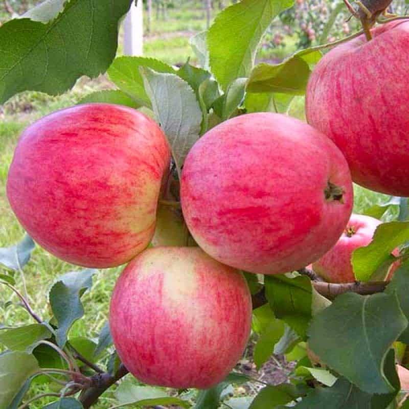 Яблоня малиновка декоративная - сорт суйслепское, описание яблок