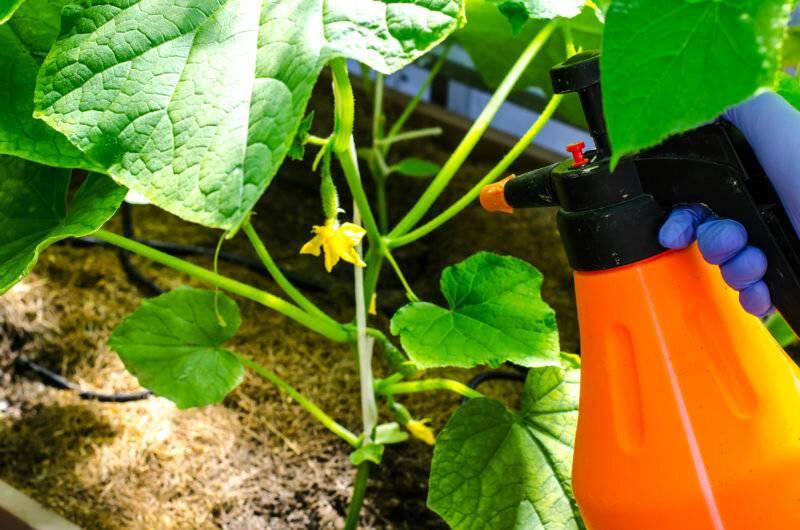 Чем полить огурцы - для быстрого роста