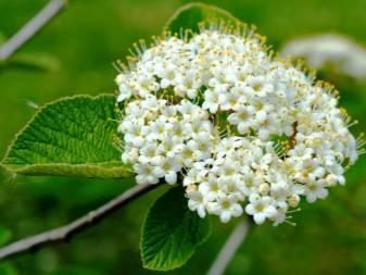 Калина «гордовина»: описание и советы по выращиванию