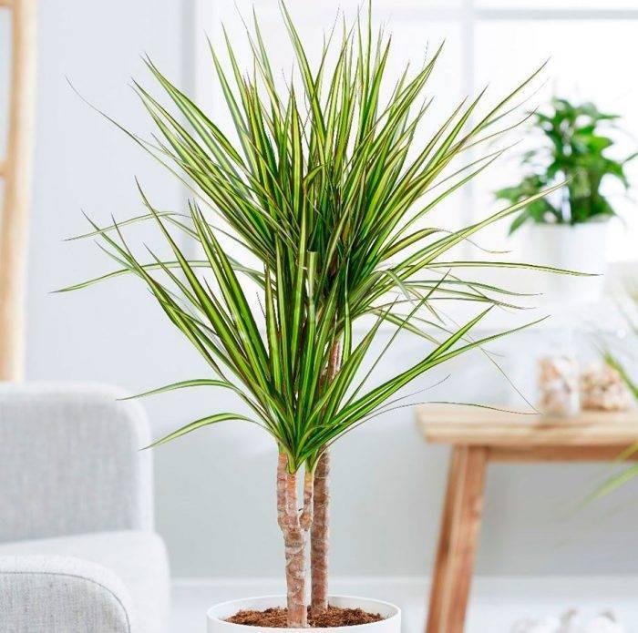 Драцена сандера, или «бамбук счастья». уход в домашних условиях. фото — ботаничка.ru