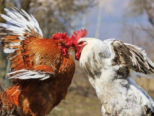 Цыплята клюют друг друга до крови: что делать, лечение