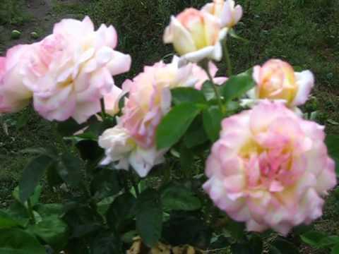 Роза глория дей (gloria dei)