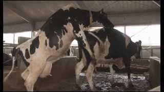 Методы искусственного осеменения коров