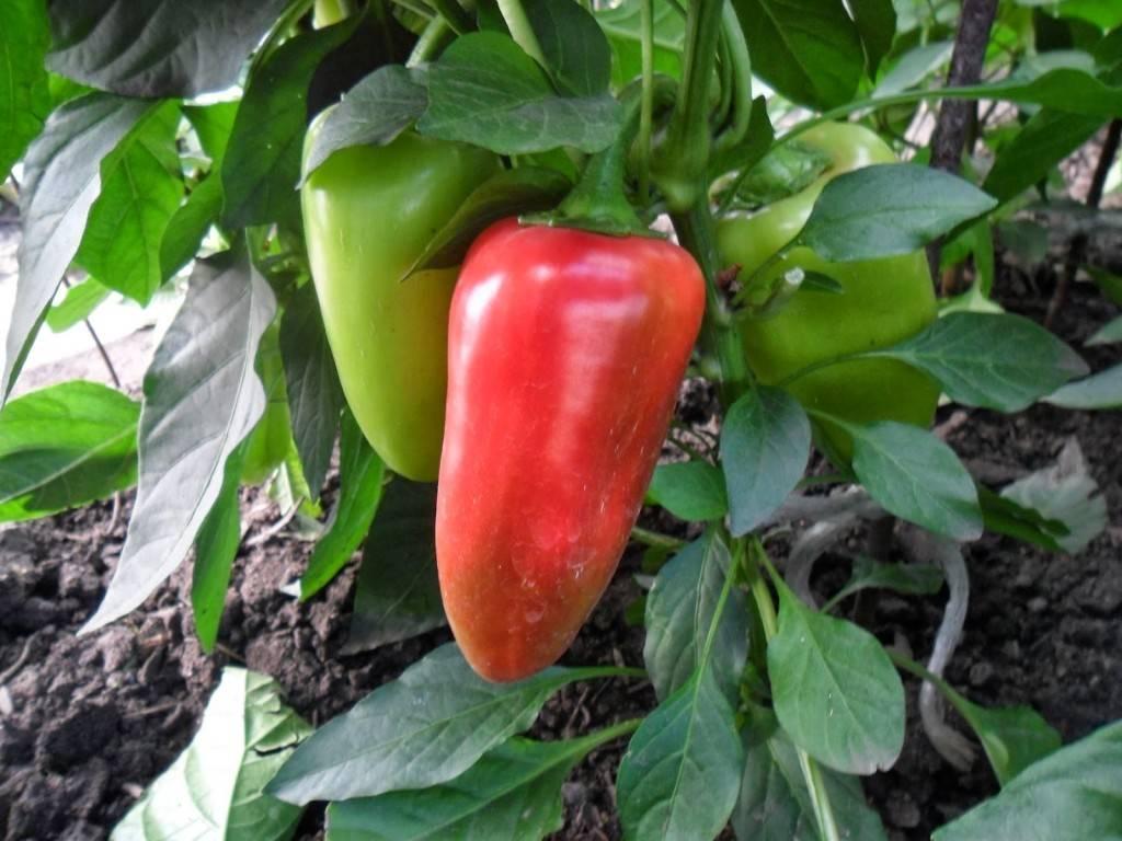 Перец купец: описание сорта, фото, отзывы, урожайность