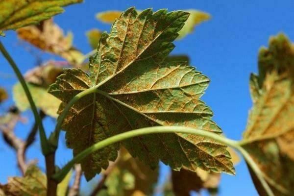Бокальчатая ржавчина смородины: меры борьбы и профилактики
