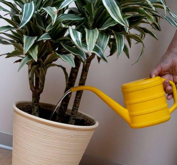 Уход за драценой в домашних условиях – гид с 20 фото и пошаговыми инструкциями