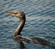 Утка под названием поганка или большая чомга – птица, не перестающая удивлять
