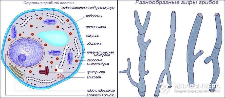 Размножение грибов. способы размножения грибов