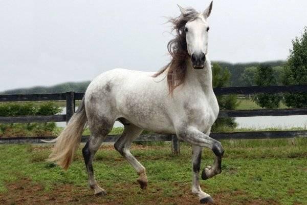 Андалузская порода лошадей: фото и видео, описание, история, характеристики