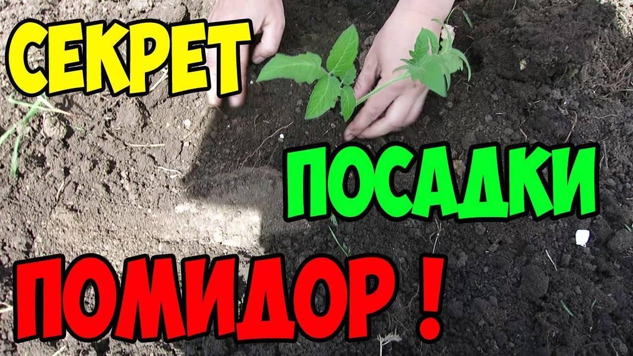 На какую глубину сажать семена помидоров при посеве, какова заделка при пикировке и при переносе рассады томатов в грунт, а также как влияет на процесс выбор сорта? русский фермер
